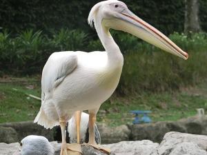 pelican-2439432_640
